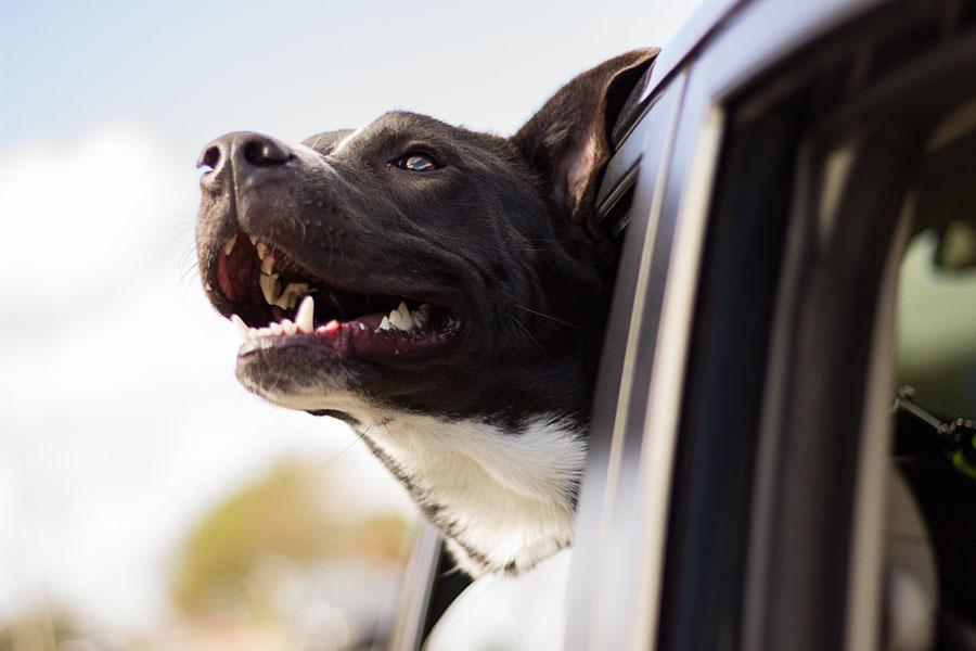 voyager en van avec son animal